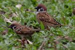 Title: Tree-Sparrow