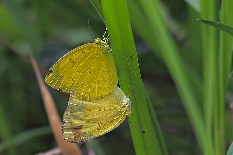 Butterfly Mating #6 (Eurema)