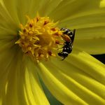 Title: A bee on a cosmos