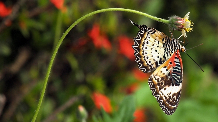 Butterfly #7/4 (Cethosia - Lacewing)