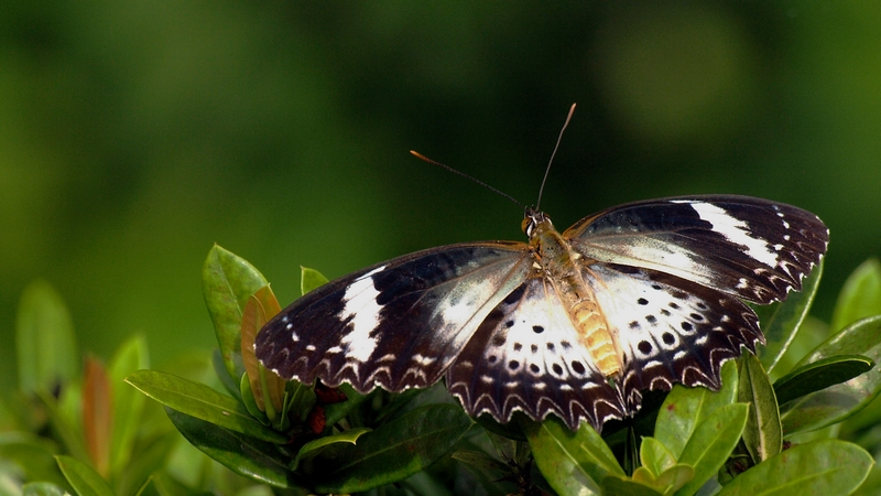 Butterfly #7/5 (Cethosia - Lacewing)