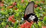 Title: Butterfly #73 (P. memnon agenor)-female