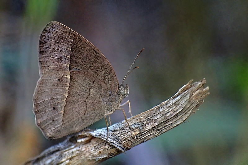 Butterfly #57 (M. francisca)