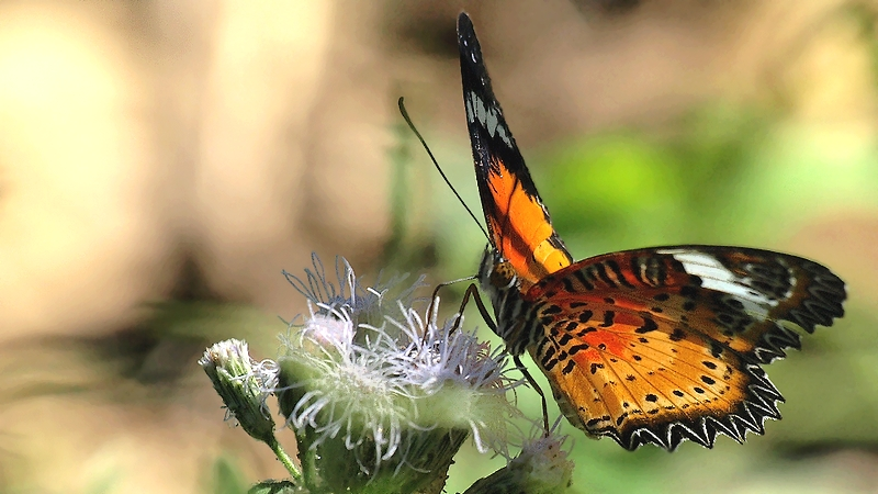 Butterfly #7/3 Cethosia