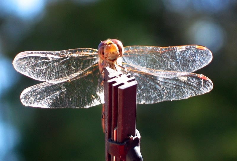 Another dragon-fly
