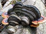Title: Another huba (Fomes fomentarius)Canon G3