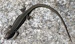 Title: Lizard on hot stone Camera: Canon G3