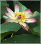 Title: Fresh water lily