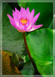 Title: Lotus bloom in the morning