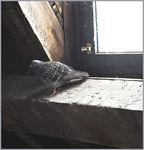 Title: Pigeon by the window