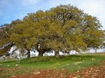 Title: Oak trees on a lonely hill