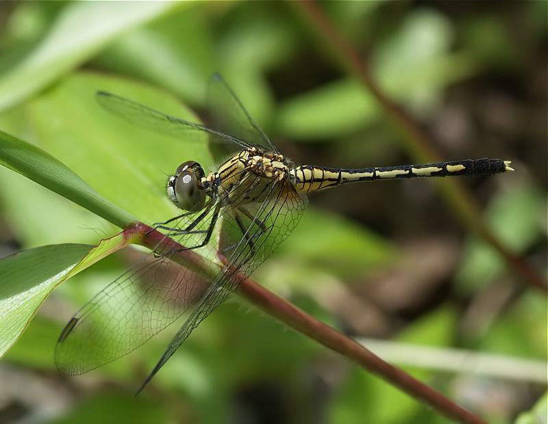 Dragonfly for Anne