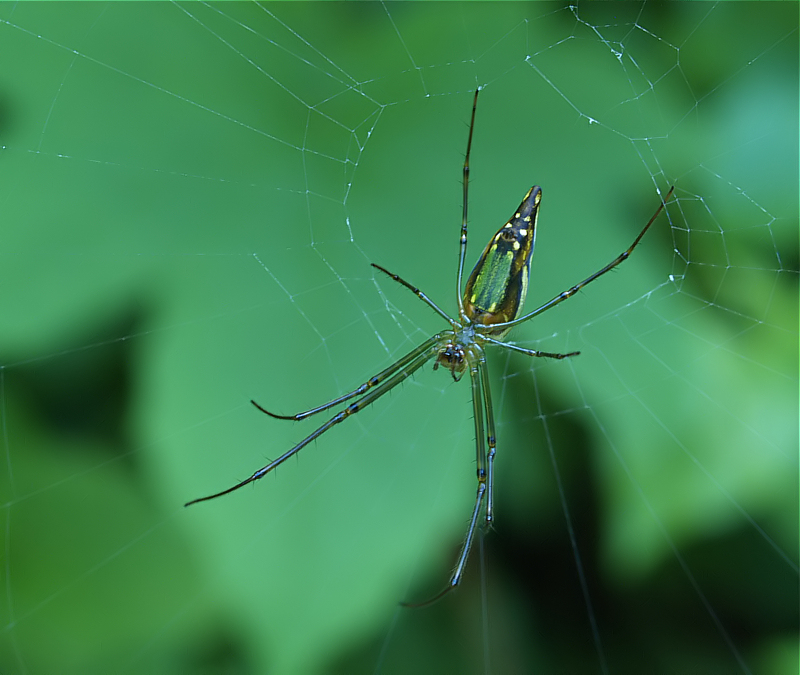 Sulawesi Spiders