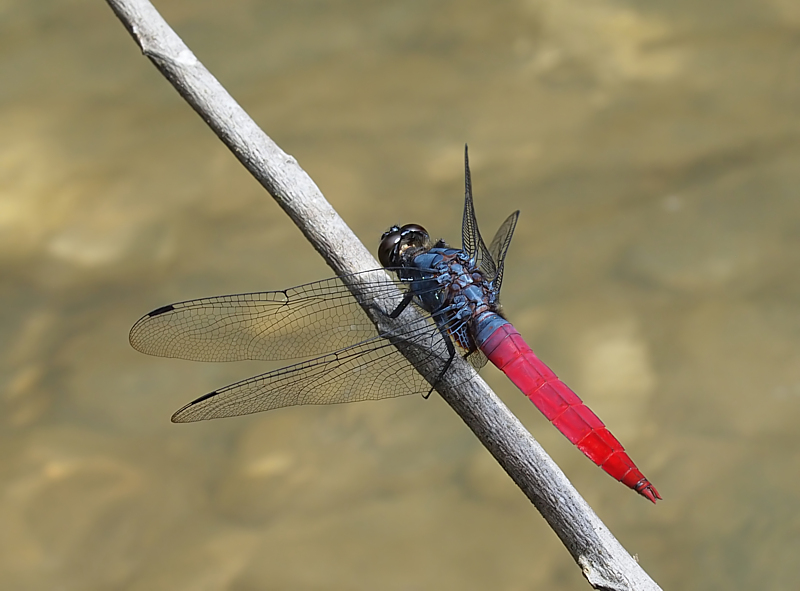 Indonesian Dragonfly