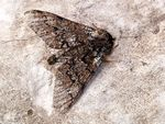 Title: Early Spring Moth