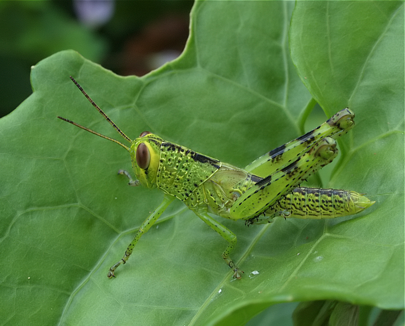 Sulawesi Insects