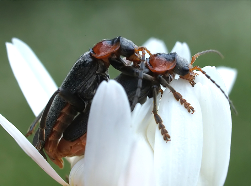 Cantharis Couple