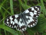 Title: Marbled White after rain