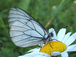 Title: Black-Veined White Camera: Olympus E1
