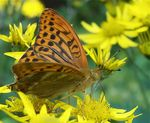 Title: MALE  Silver-Washed Fritillary