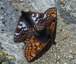 Title: South Alpine Fritillaries -2- Camera: Olympus E1