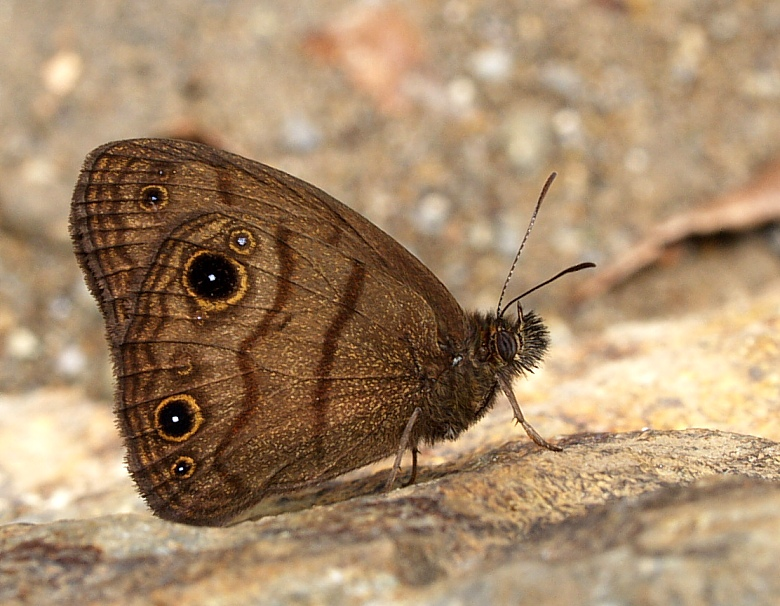 Costa Rican Ringlet - 4 legs only!?