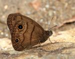Title: Costa Rican Ringlet - 4 legs only!?