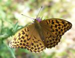 Title: LIGHT Silver-Washed Fritillary