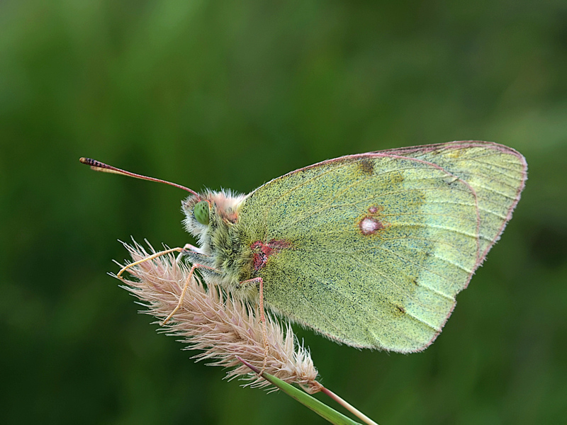 Mountain Clouded Yellow