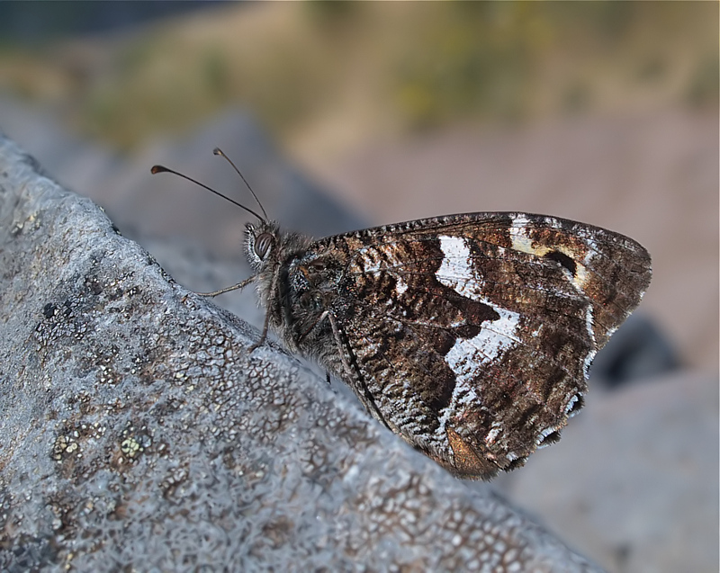 Hipparchia maderensis