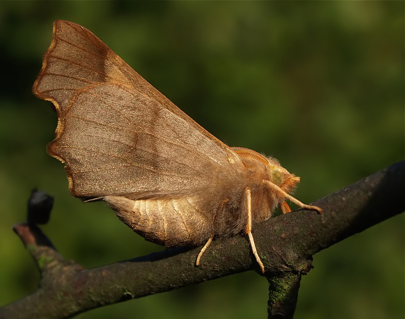 Autumn Moth