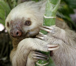 Title: Two-toed sloth