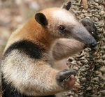 Title: Anteater in Nicaragua
