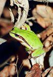 Title: european tree frog