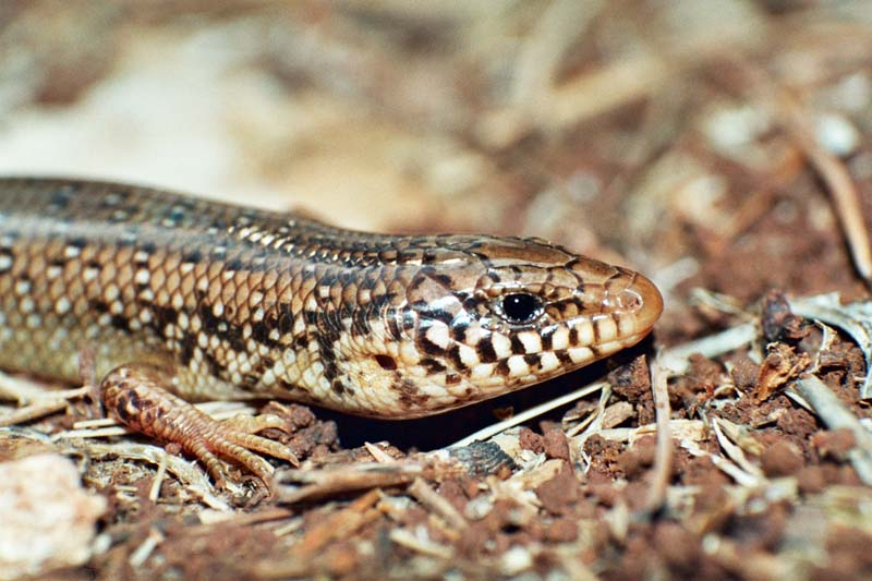 Ocellated Skink