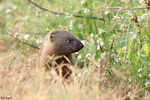 Title: Egyptian Mongoose