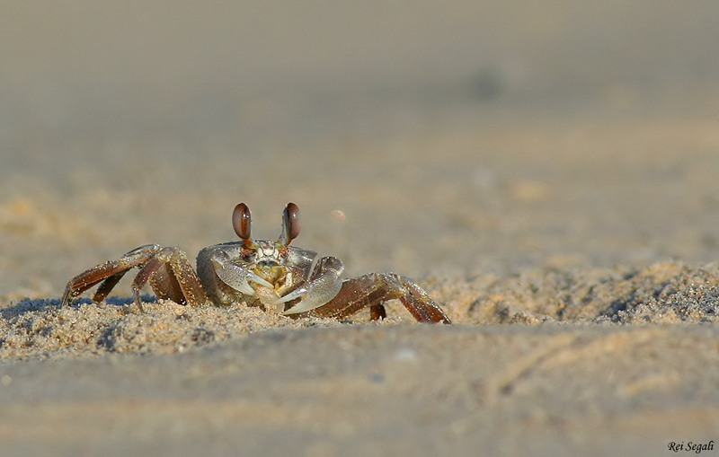 Tufted Ghost Crab