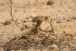 Title: Spiny tail Lizard