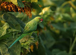 Title: Rose ringed ParakeetCanon EOS 40D