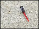 Title: black and red dragonfly