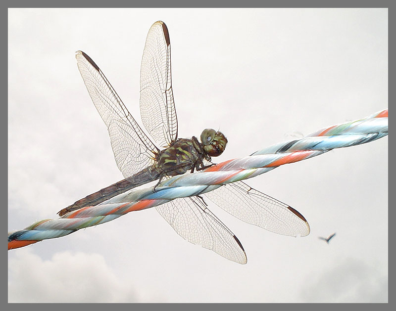 dragonfly and hawk