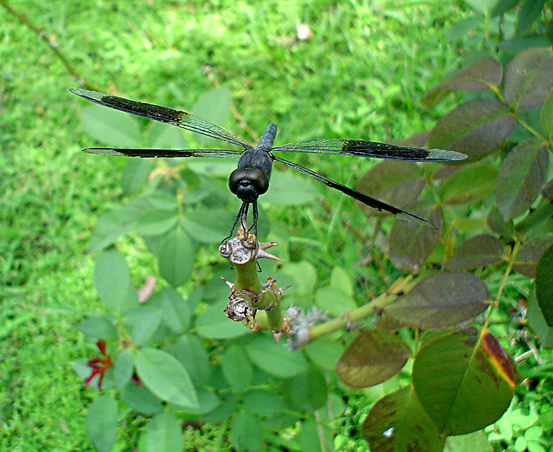 Libellula Four Spotted Black Pennant