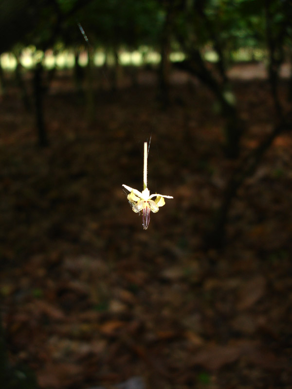 Floating - Flower of the Cocoa