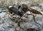 Title: robber fly with food