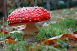 Title: Fly Agaric