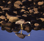 Title: White-faced heron in the mirror