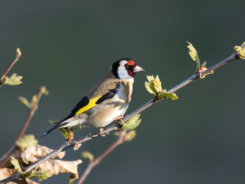 Morning goldfinch