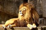 Title: King of the jungle