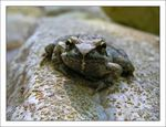 Title: Common Frog - Rana temporaria - Native