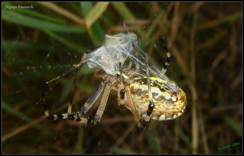 Wasp spider in action